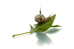 Snail crawling up a leaf Stock Photography