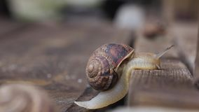 Snail crawling up a wooden board. Close up. side view. Snail crawling up a brown wooden board. Close up. side view stock footage