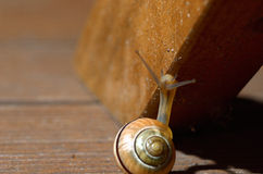 Snail crawling upwards. On a wooden bar Royalty Free Stock Photo