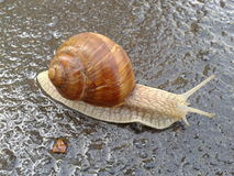 Snail crawling on the wet asphalt road. Snail on the road after a rain Stock Photography