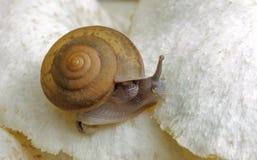 Snail crawling on white mushroom. Royalty Free Stock Image