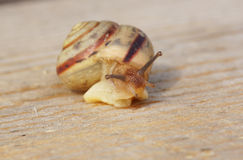 Snail crawling on the wood surface. Royalty Free Stock Image