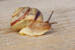 Snail crawling on the wood surface. Close-up stock images