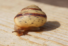 Snail crawling on the wood surface. Close-up royalty free stock photography