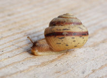 Snail crawling on the wood surface. Close-up royalty free stock photo