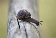 Snail crawling on the wood Stock Photography