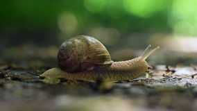 Snail Crawling stock video