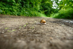 Snail Crawling in the Woods Royalty Free Stock Photo