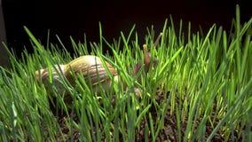 Snail crawls in grass. Snail crawls along the green grass  archachatina marginata, achatina achatina stock video footage