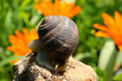 The snail crawls along the stone. The snail crawls along the stone, against the background of flowers royalty free stock photos