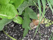 The snail crawls along the wet road after the rain and suddenly stops to eat green leaf.  Royalty Free Stock Images