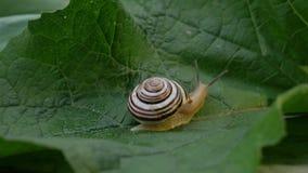 Snail crawls on green leaf