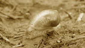 The snail crawls on the ground. Close up stock footage