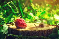 The snail crawls to the strawberry on the stump.  Royalty Free Stock Images
