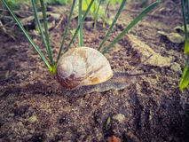 The snail crawls on the wet ground. royalty free stock image