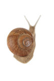 Snail crawls Stock Photography