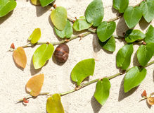 Snail on Cream Wall Surrounded by Creeping Fig Stock Images
