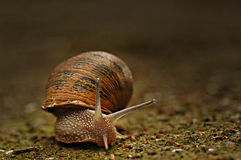 Snail creeping Stock Image