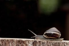 Snail creeping Royalty Free Stock Photography