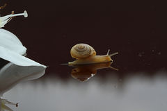 Snail creeping down out of white flower Stock Photography