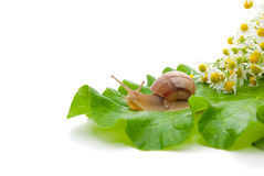 Free Snail Creeping On Leaf Royalty Free Stock Photography - 14387267