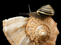 Snail creeping on a sea cockleshell Royalty Free Stock Photography
