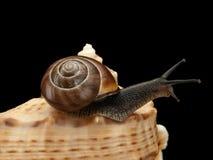 Snail creeping on a sea cockleshell Stock Photo