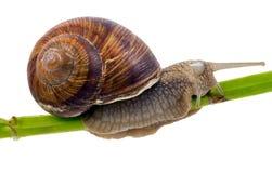 Snail creeping on stem Stock Photo