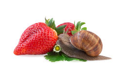 Snail creeping on of a strawberry. Garden snail creeping on of a strawberry Royalty Free Stock Images