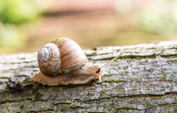 Snail creeping up the tree. Stock Images