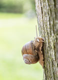 Snail creeping up the tree. Stock Image