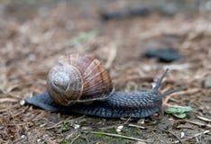Snail creeps Royalty Free Stock Photography