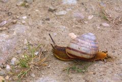 The snail creeps Royalty Free Stock Image