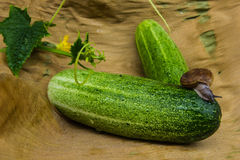 Snail  creeps on a cucumber surface. Stock Photos