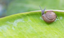 Snail creeps on green banana leaf. Stock Image