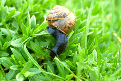 The snail creeps on a green grass Royalty Free Stock Photography
