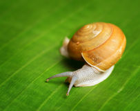 Snail creeps on green leaf Royalty Free Stock Photo