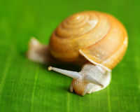 Snail creeps on green leaf Stock Photo