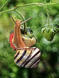The snail creeps on strawberry Royalty Free Stock Image