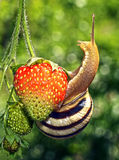 The snail creeps on strawberry Royalty Free Stock Photography