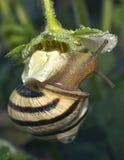 The snail creeps on strawberry Stock Photos