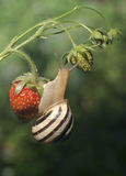 The snail creeps on strawberry Stock Photo