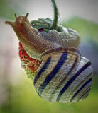 The snail creeps on strawberry Stock Photography
