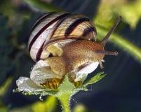 The snail creeps on strawberry Royalty Free Stock Photo