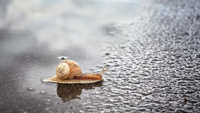 Snail crosses wet street after the rain Royalty Free Stock Photos