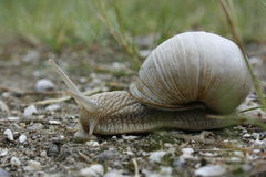 Snail Crossing Stock Photography
