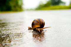 Snail crossing the road Stock Images