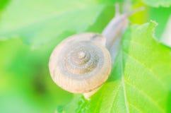 Snail Cryptozona siamensis on green leaves Stock Photos