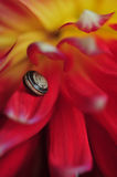 Snail on dahlia flower. Macro image of snail on dahlia flower royalty free stock images