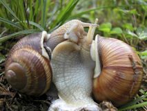 Snail dance. Couple of snails dancing, hugging and kissing Stock Photography